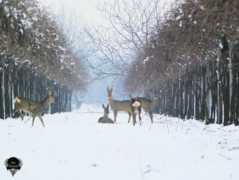 Caprioli tra la neve scatto 2