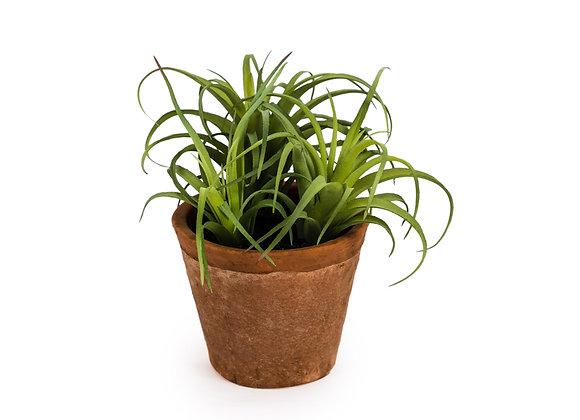 Funky Ornamental Succulent in Terracotta Pot