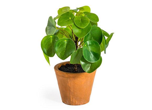 Ornamental Pilea/Money Plant in Terracotta Pot