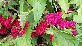 épinard_fraise.jpg