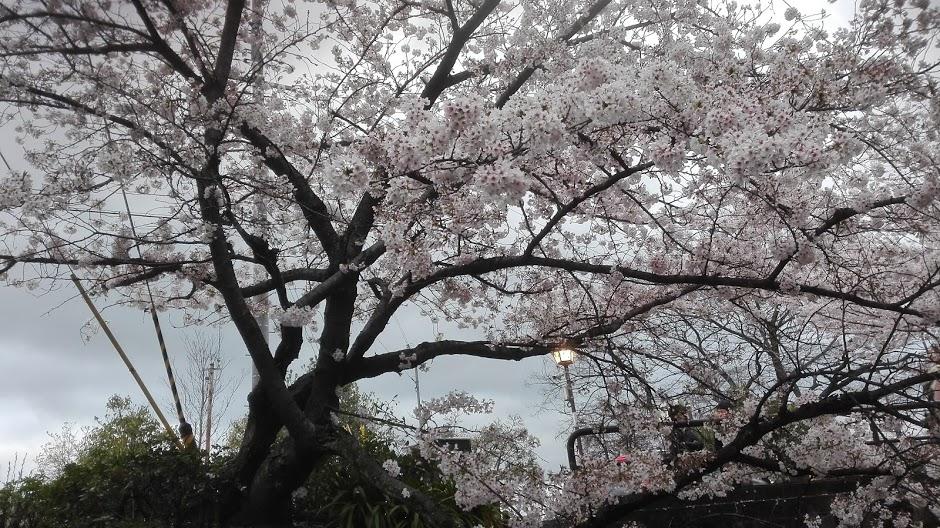 17_0409-02_hanami_ (2)