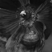 Snail On Poppy