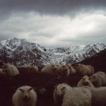 Sheep At Dawn