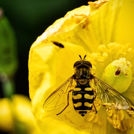 Resting Hoverfly
