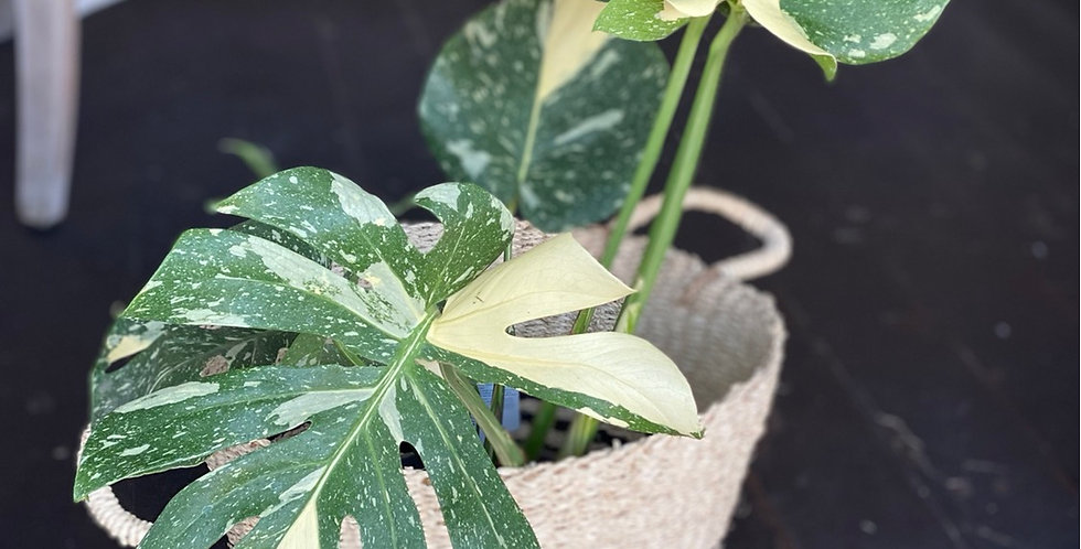 Variegated Monstera Deliciosa 'Thai Constellation'