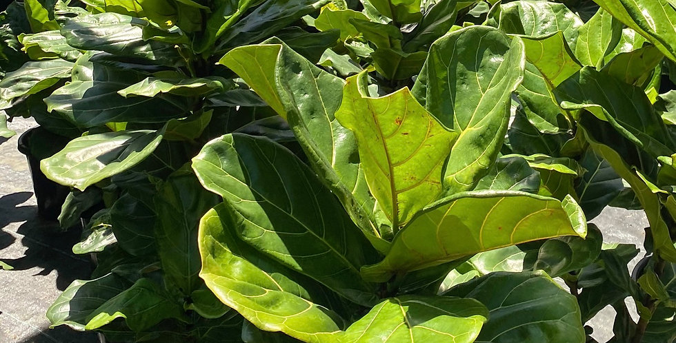 Fiddle Leaf Fig Online Special