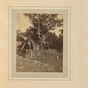 Ancient oak near The Lodge
