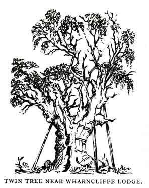 """Twin Tree"" sketch"