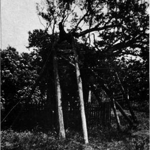 Oak tree c1912