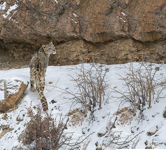 Snow-Leopard-Long_2.jpg