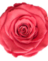 Rose corail.jpg
