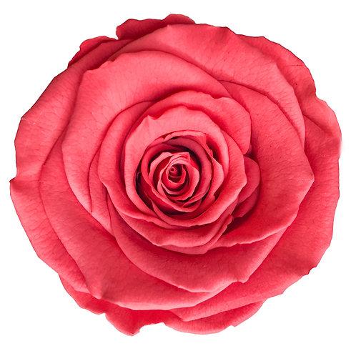 Rose, Corail