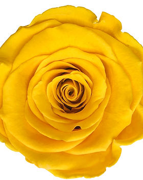 Rose jaune.jpg