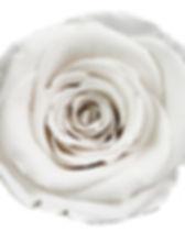 Rose Ivoire.jpg