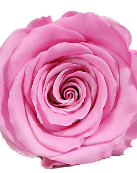 rose rose.jpg