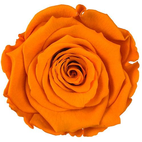 Rose, Orange