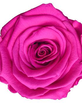 Rose rose vif.jpg