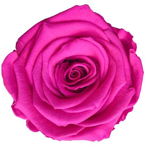 Rose, Hot Pink