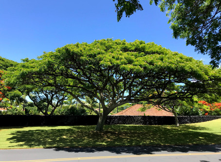 フアラライの景色~モンキーポッドの木