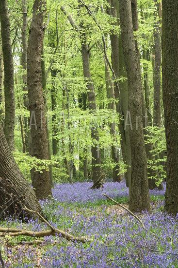 'Spring Woodland' #2 - Greetings Card
