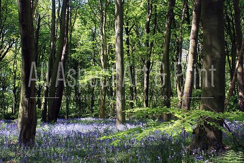 'Spring Woodland' Print