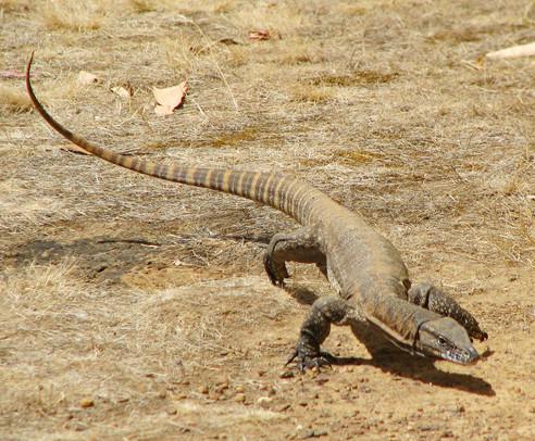 Kangaroo Island Rosenberg's Goanna