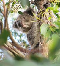 Curious wild koala