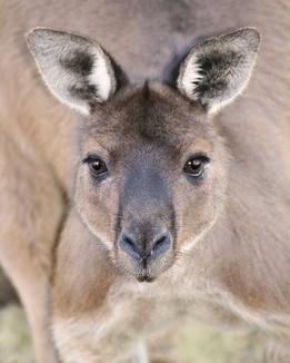 Wild male kangaroo