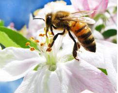 Ligurian honey bee