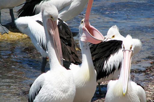 Pelican trio in American River