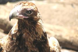 A juvenile Wedgetail Eagle