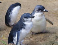 Little Penguin (or Fairy Penguin)