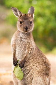 Wild kangaroo joey