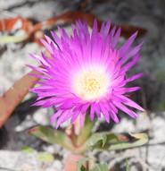 Native Pig Face flower