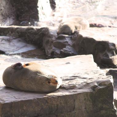Admirals Arch fur seals basking