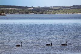 Swans at American River