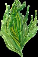alga4.png