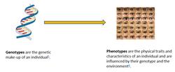 genotype-phenotype