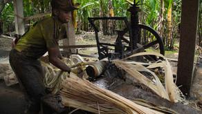 Abacá: esclavitud moderna en los campos de Ecuador (parte I)
