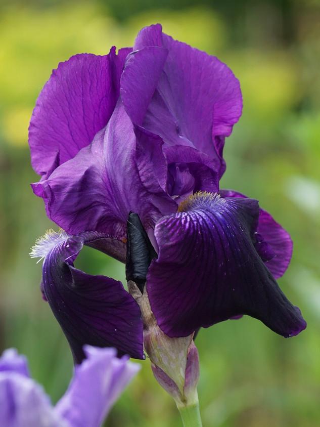 Iris germanica 'Sable'
