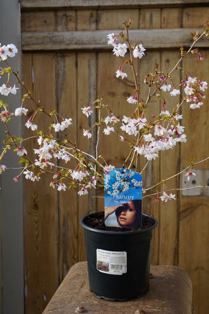 Prunus incisa 'Mikinori' - Delicate Spring blossom