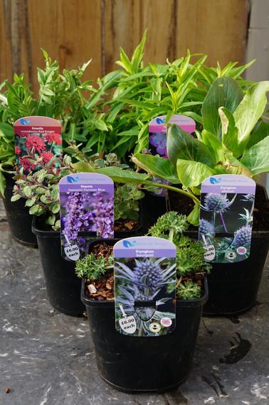 Popular Perennials