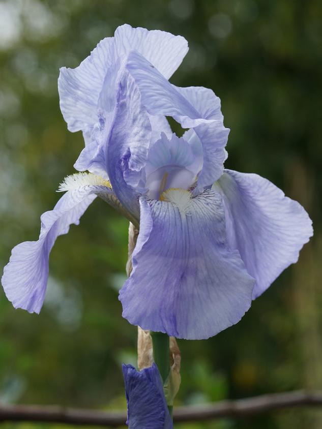 Iris germanica 'Jane Philips' (bearded iris)