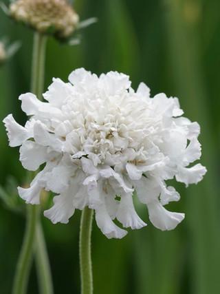 Scabiosa 'Flutter Pure White'