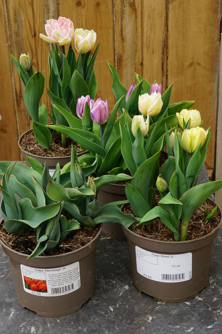 Potted Tulips in bud - Gorgeous Spring Colour