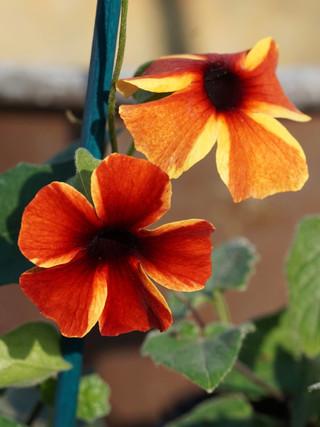 Thunbergia 'Tangerine Slice' (Black-eyed Susan)