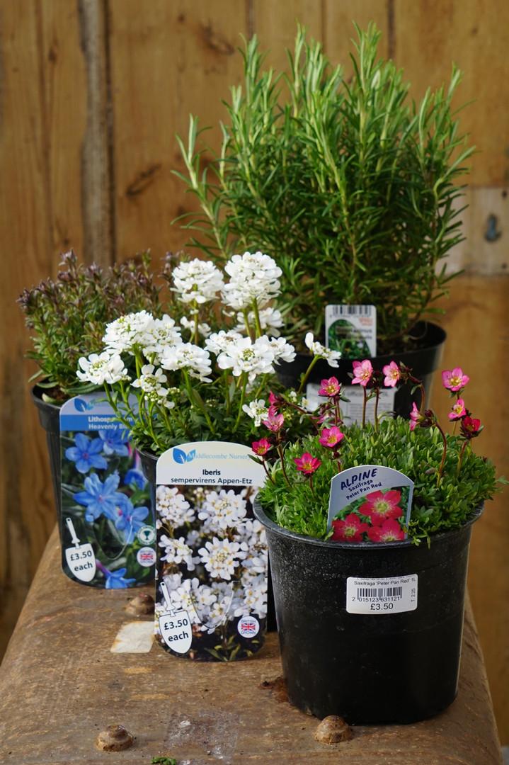 Alpines plants in 1L pots. £3.50 each