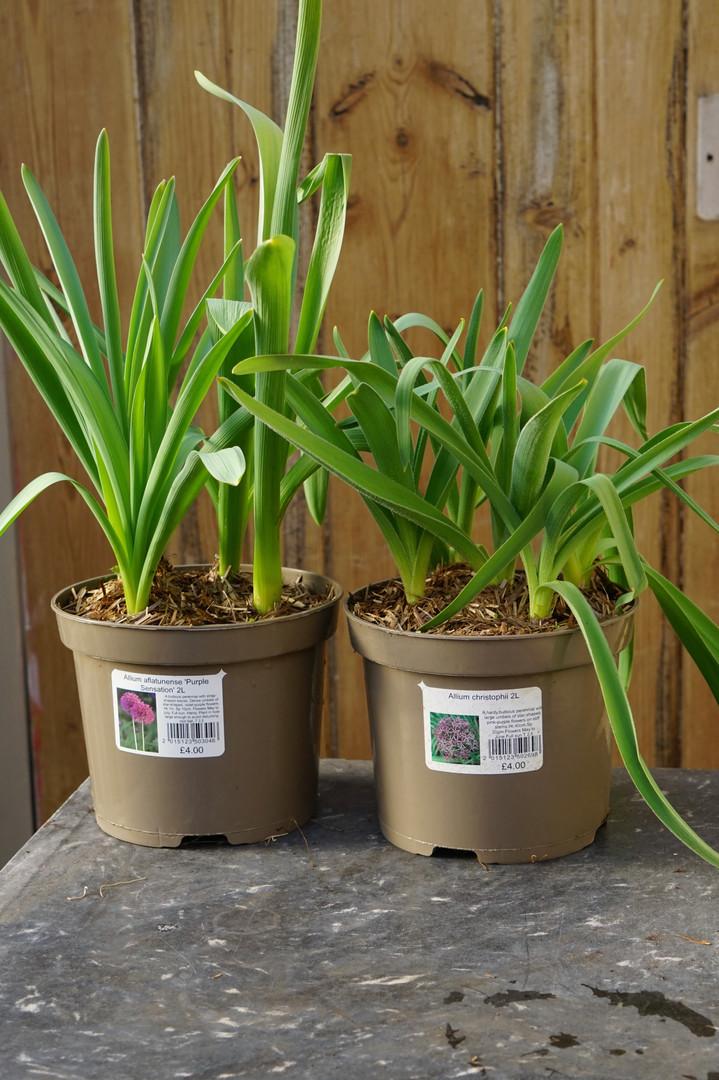 Allium christophii and Allium 'Purple Sensation'