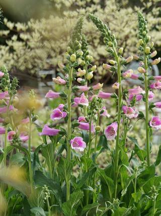 Digitalis purpurea 'Dalmation Rose' (foxglove)