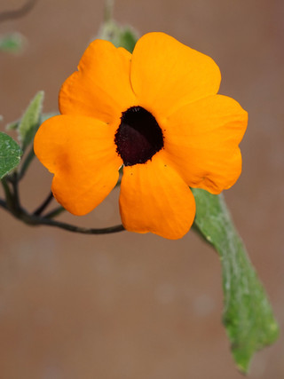 Thunbergia 'Orange Beauty' (Black-eyed Susan)
